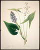 Original title:  Wild Flowers of Nova Scotia and New Brunswick - Pickerel Weed and Common Arrowhead.