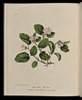 Original title:  Wild Flowers of Nova Scotia Epigoea repens. May Flower (Plate I).jpg - Wikimedia Commons