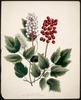 Original title:  Actoea Alba & Rubra, Red and White Baneberry.