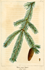 Titre original :    DescriptionNAS-148 Picea glauca.png English: Plate xxx from The North American Sylva: sssssssssssss. (Original caption: ccccccccccccccc. rrrrrrrrrrrrrrrrrr.) Date 1819 Source The North American sylva, or A description of the forest trees of the United States, Canada and Nova Scotia ... to which is added a description of the most useful of the European forest trees ... Tr. from the French of F. Andrew Michaux. Author François André Michaux (book author), Augustus Lucas Hillhouse (translator), iii (illustrator), eee (engraver)