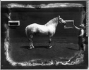FR:UNDEF:public_image_official_caption Photograph George Lane's percheron stallion on Namaka farm, near Strathmore, AB, about 1920 Wm. Notman & Son About 1920, 20th century Silver salts on glass - Gelatin dry plate process 20 x 25 cm Purchase from Associated Screen News Ltd. VIEW-8507 © McCord Museum Keywords:  farming (278) , Industry (942) , Photograph (77678)